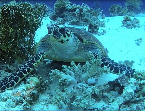 Diving with 3 Turtles – Panorama Reef